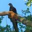 Wilde fazant