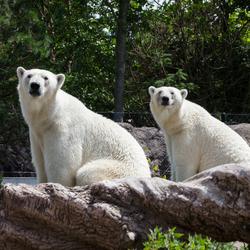 Ijsberen Sizzel & Totz Diergaarde Blijdorp