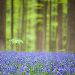 Green leafs - Hallerbos - Halle (Belgie)