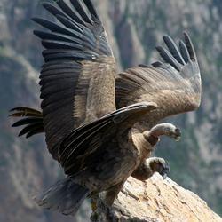 The condor has landed