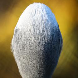 Paradijskraanvogel