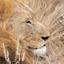 Leeuw in Balule