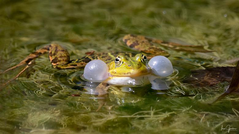 Kikker met opgeblazen kwaakblaas - Een kikker met opgeblazen kwaakblaas. Tijdens het kwaken blaast de kwaakblaas op. Hiermee probeert het mannetje om