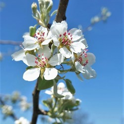 Perenboom bloesem