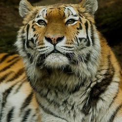 tijgert
