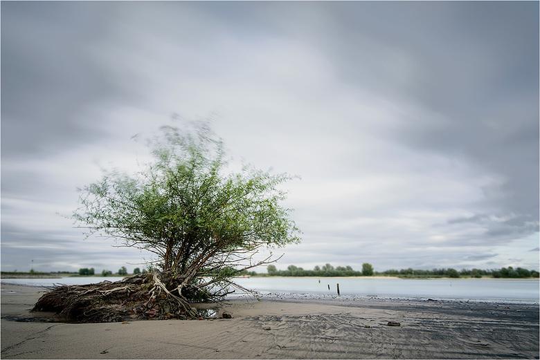 Ooijpolder #414 - Bijzondere wilg die los lijkt te liggen op een strandje aan de Waal bij Ooij. Deze al vaker gefotografeerd. Dit keer bij grijs weer