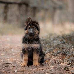 Puppy Herder