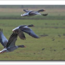Wegvliegende Grauwe ganzen
