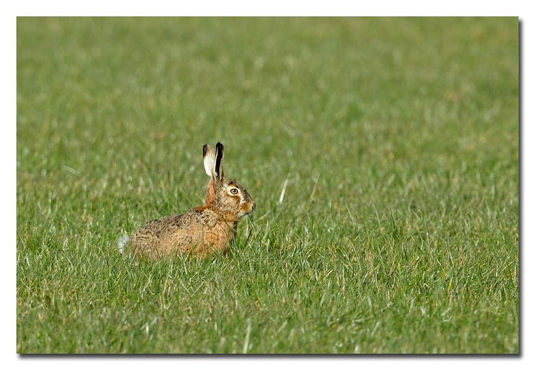 Rabbit - een haasje in het grasveld<br /> <br /> Effies in het groot bekijken!<br /> <br /> Heel erg bedankt voor de fijne reacties bij de vorige