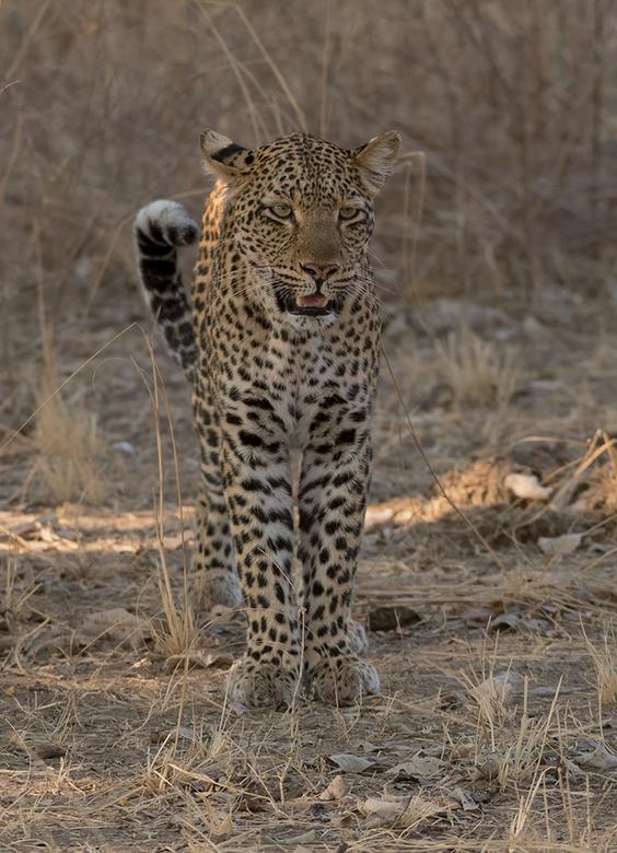 Luipaard alert - De Luipaard had een heel alerte houding aangenomen.<br /> <br /> Zambia, South Luangwa