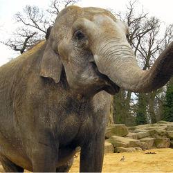 olifant met lange snuit....