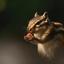 Siberische grondeekhoorn