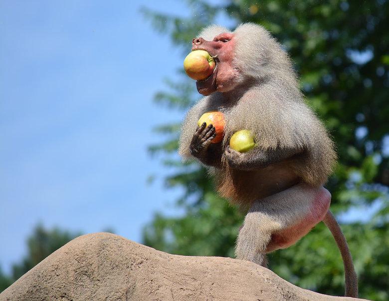 Papio Hamadryas de Groenteboer! - De Mantelbaviaan (Papio Hamadryas) is een aap uit het geslacht der bavianen (Papio). De Mantelbaviaan werd door de O