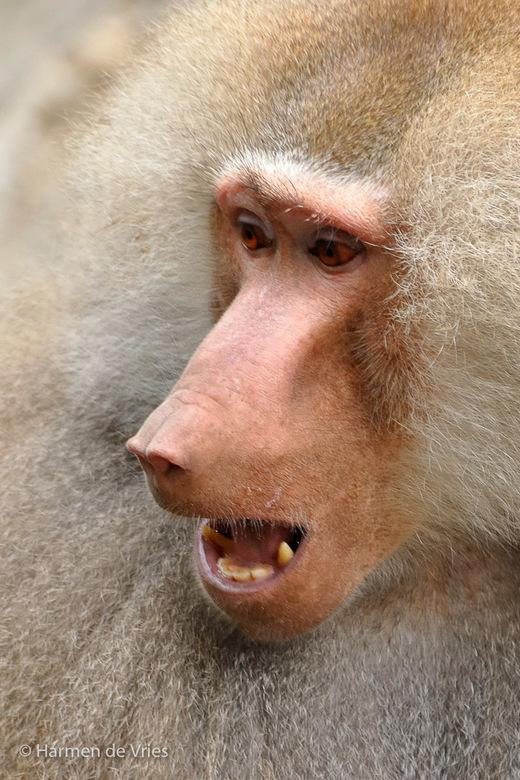 Geluidloos - Foto zonder geluid ... deze mannetjes-mantebaviaan riep een 'onderaan' tot de orde met een luide kreet.