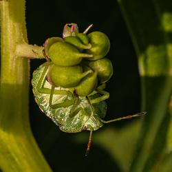 Groene Schildwants nimf
