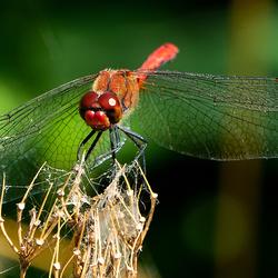 Bloed rode heidelibel