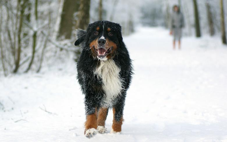 Poolhond - Onze hond nadat ie eens lekker tekeer is gegaan in de sneeuw / het water / op het ijs.