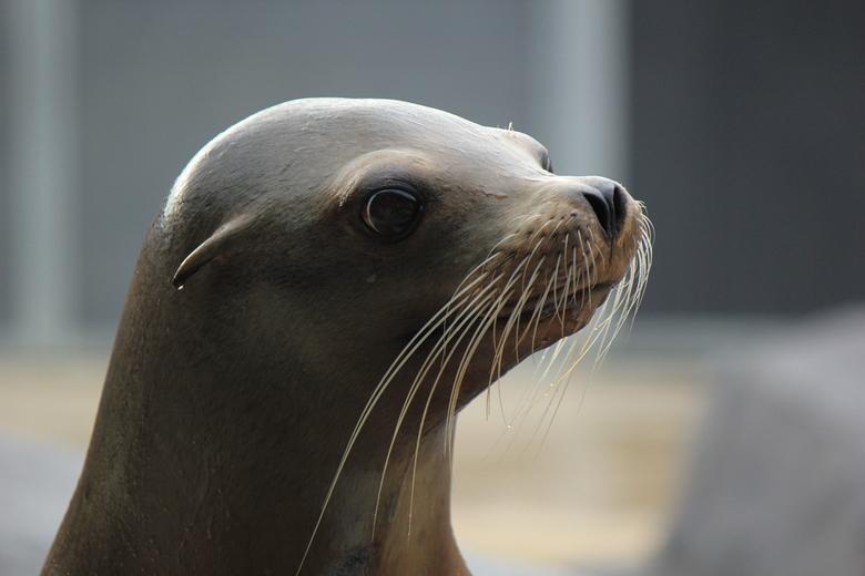 Sea lion -