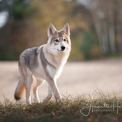 Is het een wolf of is het een hond