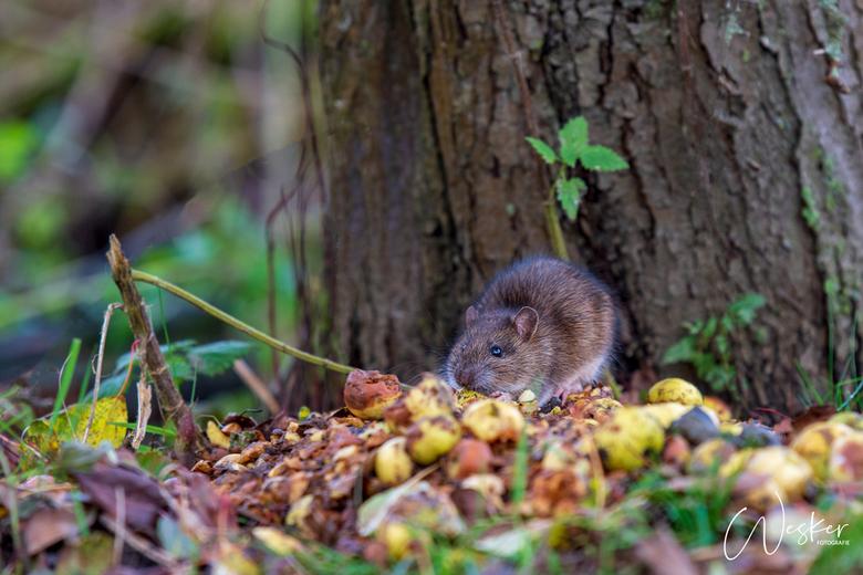 Bruine Rat - Bruine rat geniet van de rottende appeltjes