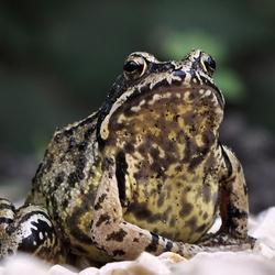 Een kikker of een pad, die op het tuinpad zat.