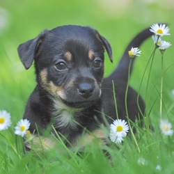 Black & Tan Jack Russel pup