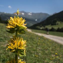 Gele Pyreneeën