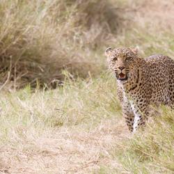 Luipaard Serengeti, nu in kleur