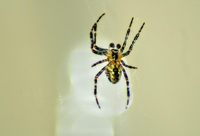 kruisspin (Araneus diadematus) - Deze kruisspin heeft een web tussen de schutting en onze papier container gemaakt.
