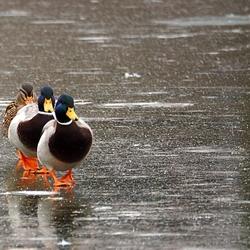 Duck mars