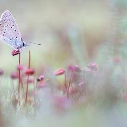 Icarusblauwtje op sporen van mos