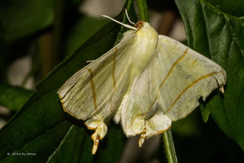 Vliervlinder  - Vliervlinder - Ourapteryx sambucaria / IMG_8815-b