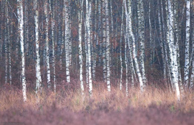 berkenboompjes