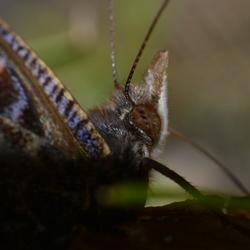 genietende vlinder van een rottende pruim