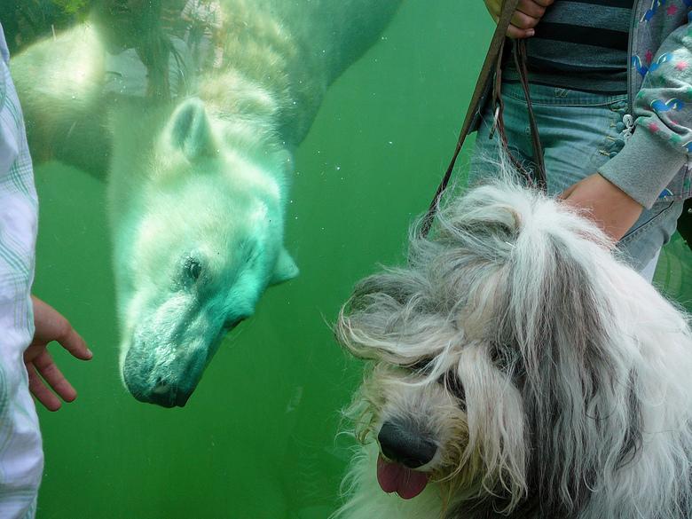 Ijsbeer-hond - Confrontatie tussen hond en Ijsbeer.