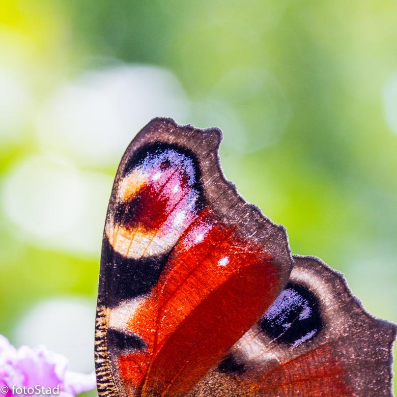 vlinderoog - wat zijn ze prachtig van dichtbij