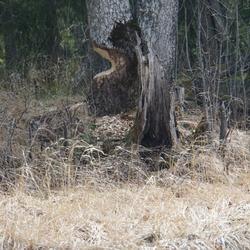 Bever heeft een boom bewerkt