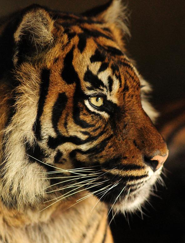 Sumatraanse Tijger - Deze foto van een Sumatraanse tijger heb ik in Burgers&#039; Zoo gemaakt.  <br /> Hij is gemaakt door een raam, waarvan ik het m