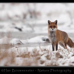 Over de sluwe vos en de gefopte fotograaf