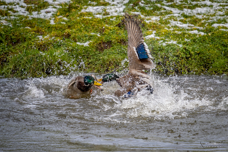 Fight of the ducks - Fight of the ducks
