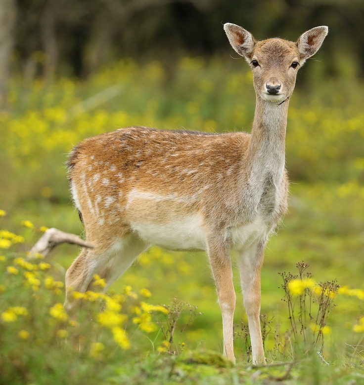 Lady hert -