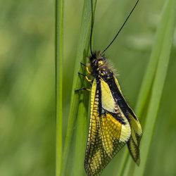 Vlinderhaft, wachtend op de zon