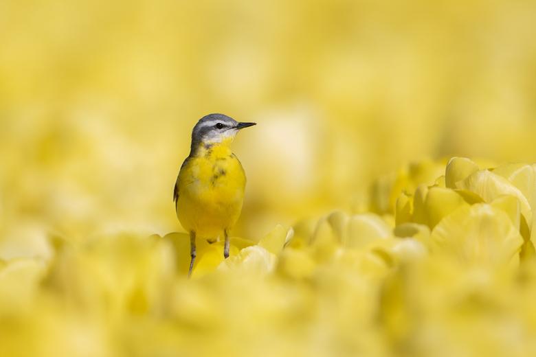 Gele Kwikstaart - Paar dagen naar Emmeloord geweest om de Gele Kwikstaart op de tulpen te fotograferen.