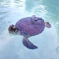 Mexicaanse baby schildpad