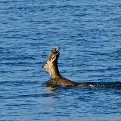 Jonge reebok zwemt de IJssel over