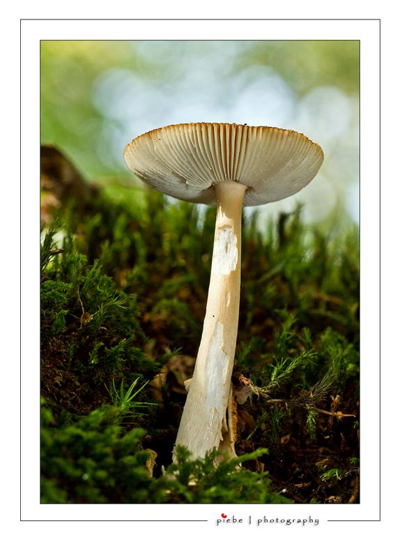 Paddestoel - Vanmiddag 24 september 2011 even het bos in geweest voor paddestoelen. Er zijn al erg mooie exemplaren te bewonderen. Deze heb ik gemaakt