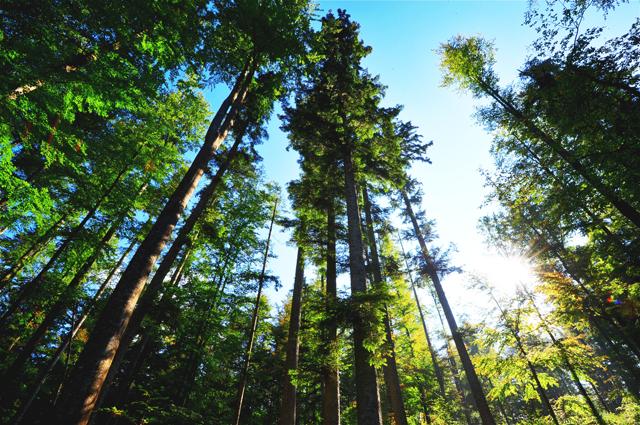 Looking up at the trees - Gemaakt in het Bayerischer Wald in Duitsland.