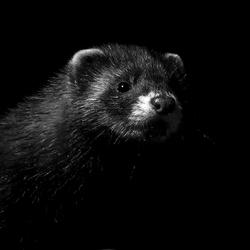Bunzing in zwart-wit