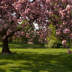 Kasteel Rosendael schemert door de uitbundige bloesem van een prunusboom