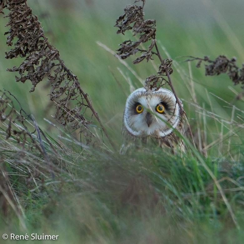 Doorkijkje - Velduil half verscholen in het gras